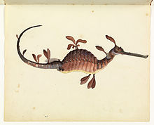 220px-Sketchbook_of_fishes_-_11._Leafy_sea_dragon_-_William_Buelow_Gould,_c1832
