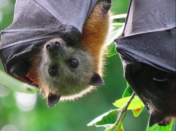 Red Headed flying fox image